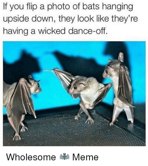 dance off: If you flip a photo of bats hanging  upside down, they look like they're  having a wicked dance-off. Wholesome 🦇 Meme