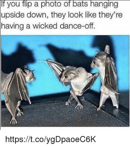 dance off: If you flip a photo of bats hanging  upside down, they look like they're  having a wicked dance-off.  0 https://t.co/ygDpaoeC6K