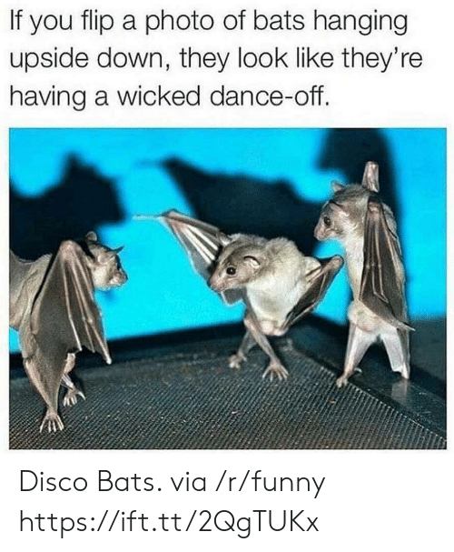 dance off: If you flip a photo of bats hanging  upside down, they look like they're  having a wicked dance-off. Disco Bats. via /r/funny https://ift.tt/2QgTUKx
