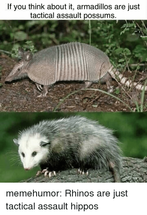 hippos: If you think about it, armadillos are just  tactical assault possums memehumor:  Rhinos are just tactical assault hippos