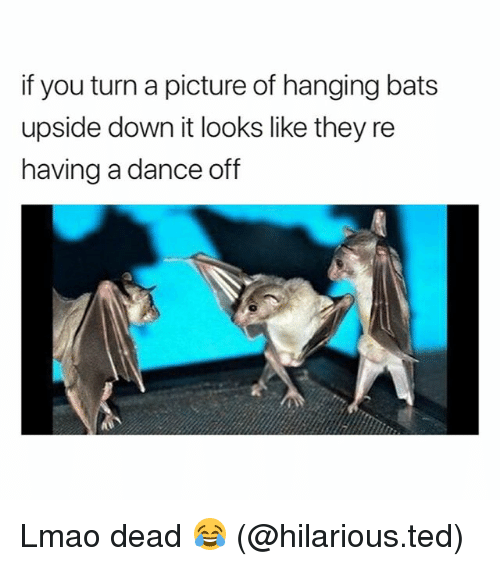 dance off: if you turn a picture of hanging bats  upside down it looks like they re  having a dance off Lmao dead 😂 (@hilarious.ted)
