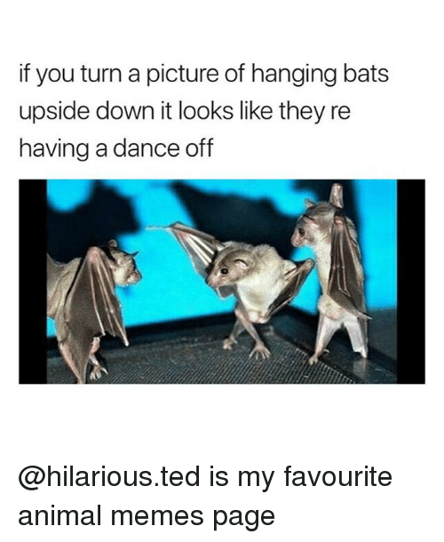 dance off: if you turn a picture of hanging bats  upside down it looks like they re  having a dance off @hilarious.ted is my favourite animal memes page