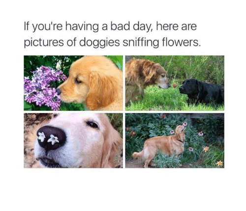 Bad Day, Memes, and Flower: If you're having a bad day, here are  pictures of doggies sniffing flowers.