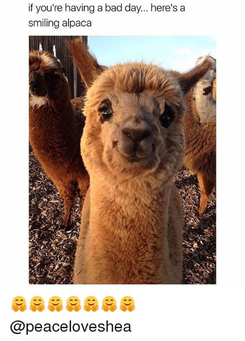˜»: if you're having a bad day... here's a  smiling alpaca 🤗🤗🤗🤗🤗🤗🤗 @peaceloveshea