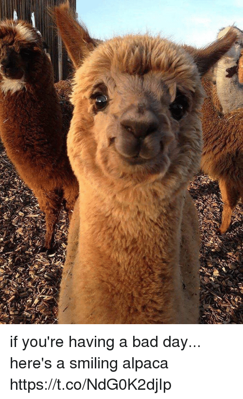 Bad, Bad Day, and Girl Memes: if you're having a bad day... here's a smiling alpaca https://t.co/NdG0K2djIp