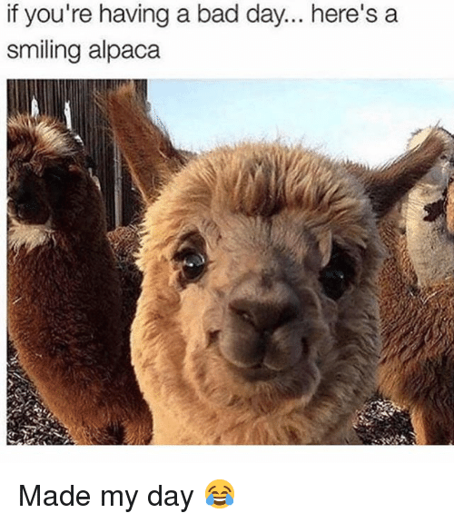 Bad, Bad Day, and Memes: if you're having a bad day... here's a  smiling alpaca Made my day 😂