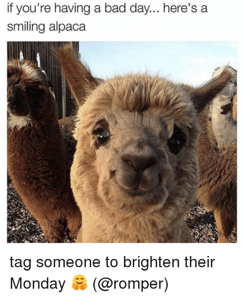 Alpaca: if you're having a bad day... here's a  smiling alpaca tag someone to brighten their Monday 🤗 (@romper)
