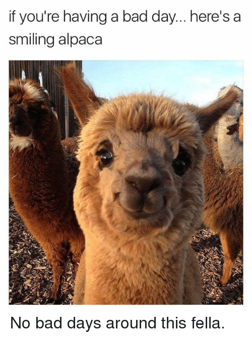 Alpaca: if you're having a bad day... here's a  smiling alpaca No bad days around this fella.