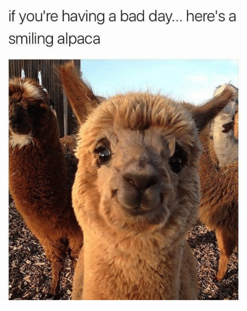 Alpaca: if you're having a bad day... here's a  smiling alpaca