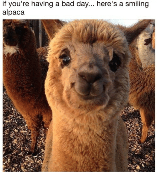 if youre having a bad day: if you're having a bad day... here's a smiling  alpaca