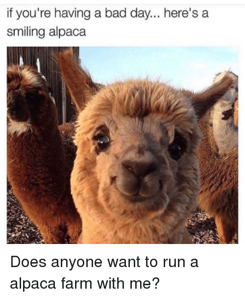 if youre having a bad day: if you're having a bad day... here's a  smiling alpaca Does anyone want to run a alpaca farm with me?