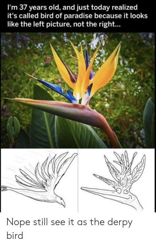 Paradise: I'm 37 years old, and just today realized  it's called bird of paradise because it looks  like the left picture, not the right... Nope still see it as the derpy bird