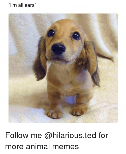 """all ears: """"I'm all ears Follow me @hilarious.ted for more animal memes"""