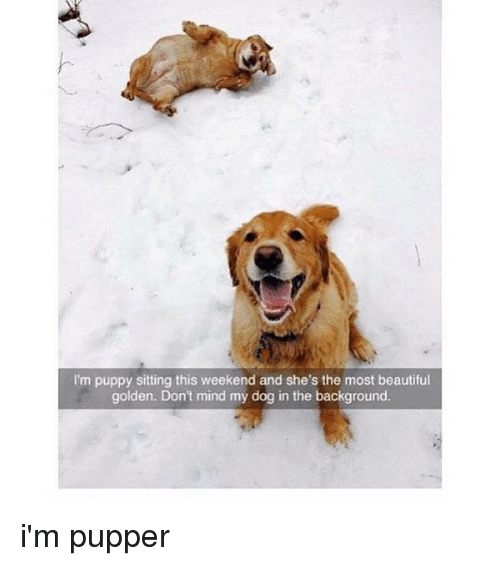 Beautiful, Memes, and Puppy: I'm puppy sitting this weekend and she's the most beautiful  golden. Don't mind my dog in the background. i'm pupper