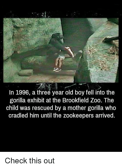 brookfield: In 1996, a three year old boy fell into the  gorilla exhibit at the Brookfield Zoo. The  child was rescued by a mother gorilla who  cradled him until the zookeepers arrived Check this out