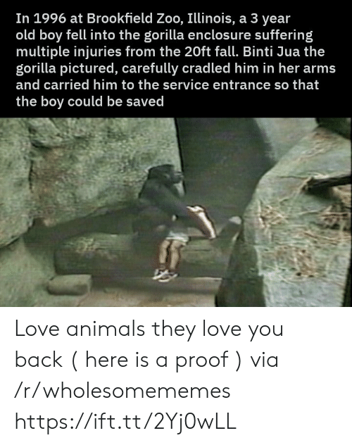 brookfield: In 1996 at Brookfield Zoo, Illinois, a 3 year  old boy fell into the gorilla enclosu re suffering  multiple injuries from the 20ft fall. Binti Jua the  gorilla pictured, carefully cradled him in her arms  and carried him to the service entrance so that  the boy could be saved Love animals they love you back ( here is a proof ) via /r/wholesomememes https://ift.tt/2Yj0wLL