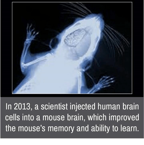 Memes, Mouse, and 🤖: In 2013, a scientist injected human brain  cells into a mouse brain, which improved  the mouse's memory and ability to learn