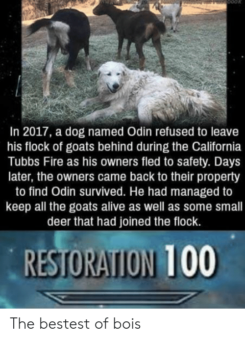 Odin: In 2017, a dog named Odin refused to leave  his flock of goats behind during the California  Tubbs Fire as his owners fled to safety. Days  later, the owners came back to their property  to find Odin survived. He had managed to  keep all the goats alive as well as some small  deer that had joined the flock.  RESTORATION 100 The bestest of bois