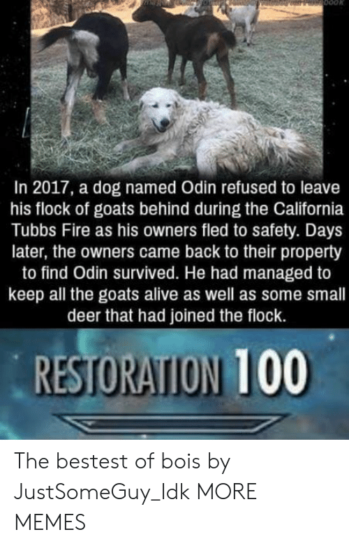 Odin: In 2017, a dog named Odin refused to leave  his flock of goats behind during the California  Tubbs Fire as his owners fled to safety. Days  later, the owners came back to their property  to find Odin survived. He had managed to  keep all the goats alive as well as some small  deer that had joined the flock.  RESTORATION 100 The bestest of bois by JustSomeGuy_Idk MORE MEMES