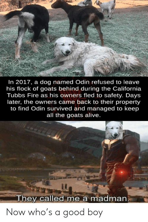 refused: In 2017, a dog named Odin refused to leave  his flock of goats behind during the California  Tubbs Fire as his owners fled to safety. Days  later, the owners came back to their property  to find Odin survived and managed to keep  all the goats alive.  They called me a madman Now who's a good boy