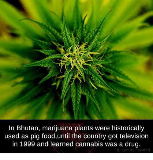 Bhutan: In Bhutan, marijuana plants were historically  used as pig food,until the country got television  in 1999 and learned cannabis was a drug.  fb.com/factsweird