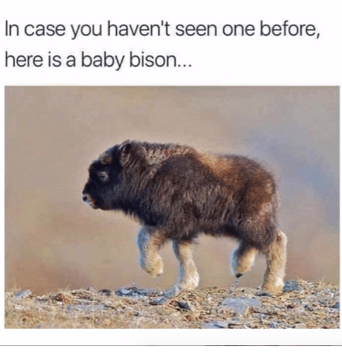 bison: In case you haven't seen one before  here is a baby bison