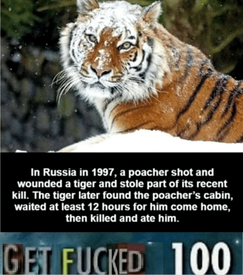 come-home: In Russia in 1997, a poacher shot and  wounded a tiger and stole part of its recent  kill. The tiger later found the poacher's cabin,  waited at least 12 hours for him come home,  then killed and ate him.  GET FUCKED 100