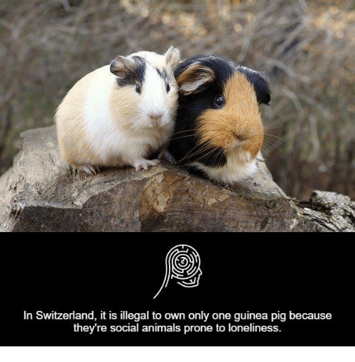In Switzerland It Is Illegal to Own Only One Guinea Pig ...