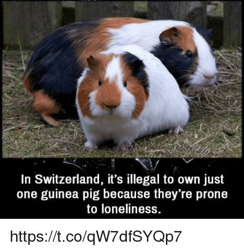 Pigly: In Switzerland, it's illegal to own just  one guinea pig because they're prone  to loneliness https://t.co/qW7dfSYQp7