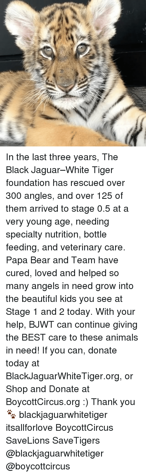 papa bear: In the last three years, The Black Jaguar–White Tiger foundation has rescued over 300 angles, and over 125 of them arrived to stage 0.5 at a very young age, needing specialty nutrition, bottle feeding, and veterinary care. Papa Bear and Team have cured, loved and helped so many angels in need grow into the beautiful kids you see at Stage 1 and 2 today. With your help, BJWT can continue giving the BEST care to these animals in need! If you can, donate today at BlackJaguarWhiteTiger.org, or Shop and Donate at BoycottCircus.org :) Thank you🐾 blackjaguarwhitetiger itsallforlove BoycottCircus SaveLions SaveTigers @blackjaguarwhitetiger @boycottcircus