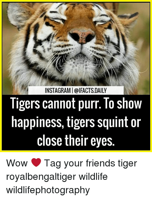 ligers: INSTAGRAMI@IFACTS DAILY  ligers cannot purr. lo show  happiness, tigers squint or  close their eyes. Wow ❤ Tag your friends tiger royalbengaltiger wildlife wildlifephotography