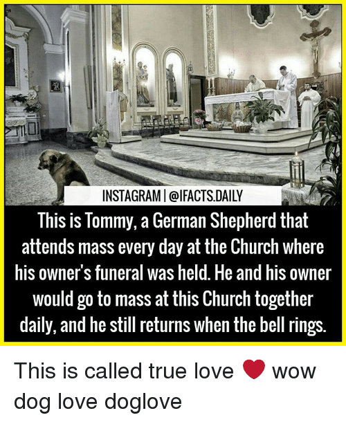 bell ringing: INSTAGRAMI@IFACTSDAILY  This is Tommy, a German Shepherd that  attends mass every day at the Church where  his owners funeral was held. He and his owner  would go to mass at this Church together  daily, and he still returns when the bell rings This is called true love ❤ wow dog love doglove
