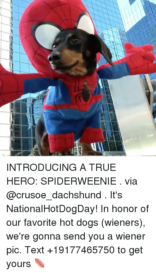 Dogs, Memes, and True: INTRODUCING A TRUE HERO: SPIDERWEENIE . via @crusoe_dachshund . It's NationalHotDogDay! In honor of our favorite hot dogs (wieners), we're gonna send you a wiener pic. Text +19177465750 to get yours 🌭