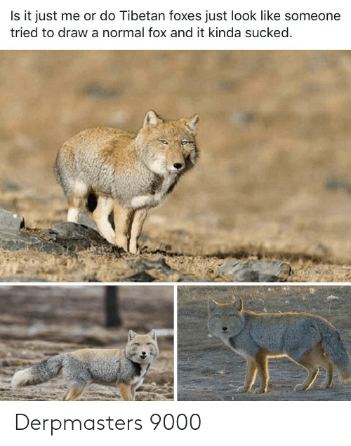 foxes: Is it just me or do Tibetan foxes just look like someone  tried to draw a normal fox and it kinda sucked. Derpmasters 9000