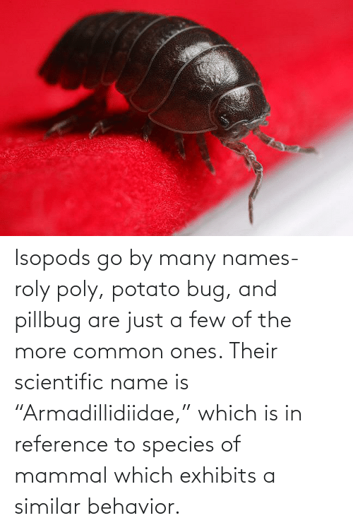 """Common, Potato, and Species: Isopods go by many names- roly poly, potato bug, and pillbug are just a few of the more common ones. Their scientific name is """"Armadillidiidae,"""" which is in reference to species of mammal which exhibits a similar behavior."""