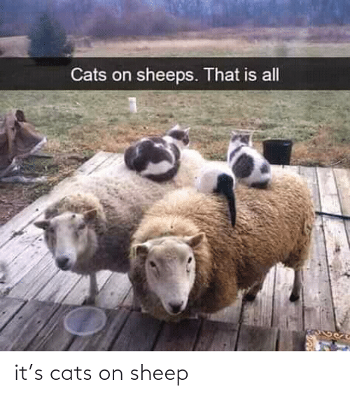 sheep: it's cats on sheep