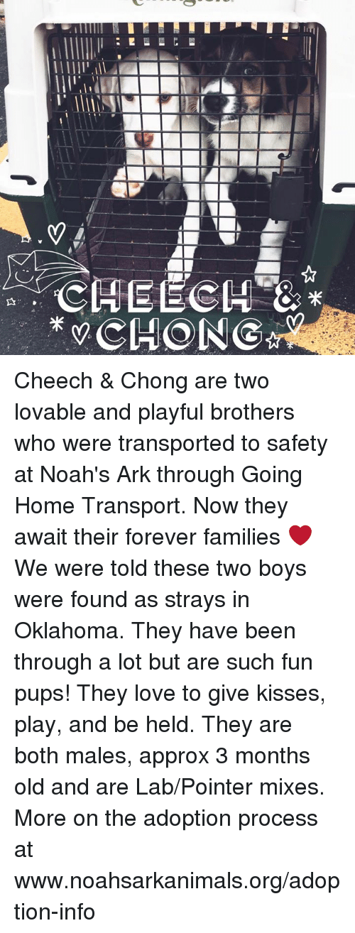 Cheech & Chong: IT!  lllllll, illa  .. CHEECH  米 CHONG☆  2.5  Al Cheech & Chong are two lovable and playful brothers who were transported to safety at Noah's Ark through Going Home Transport. Now they await their forever families ❤️ We were told these two boys were found as strays in Oklahoma. They have been through a lot but are such fun pups! They love to give kisses, play, and be held. They are both males, approx 3 months old and are Lab/Pointer mixes. More on the adoption process at www.noahsarkanimals.org/adoption-info