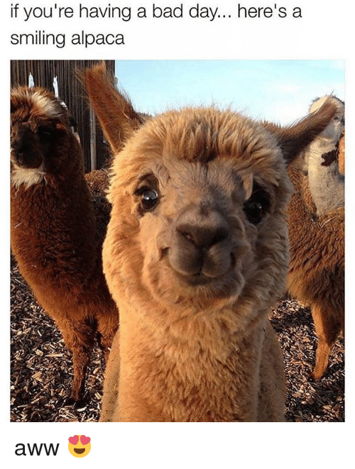 Aww, Bad, and Bad Day: IT you re naving a bad day... nere's a  smiling alpaca aww 😍