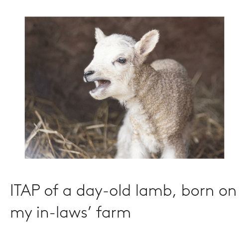 in laws: ITAP of a day-old lamb, born on my in-laws' farm