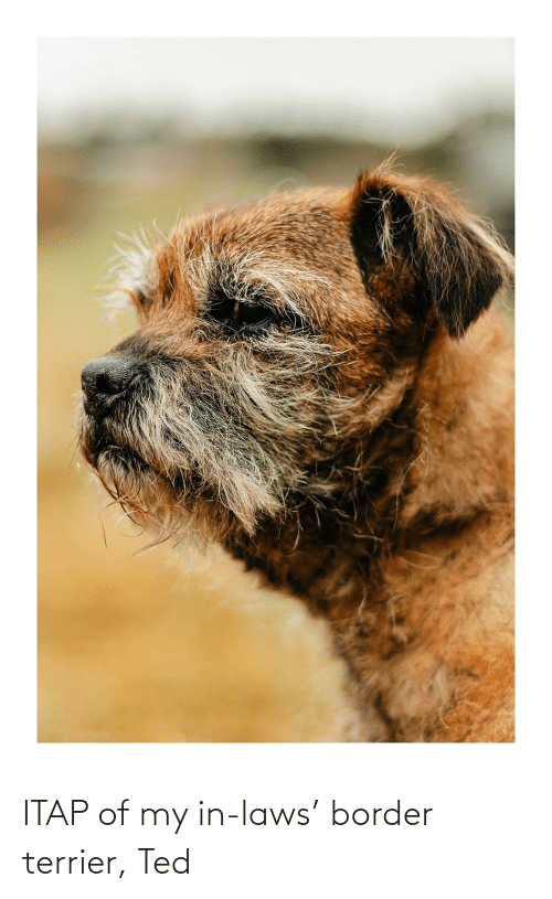 in laws: ITAP of my in-laws' border terrier, Ted