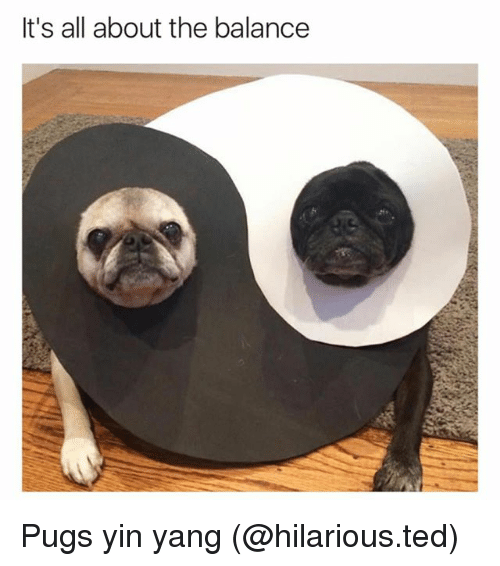 Pugs: It's all about the balance Pugs yin yang (@hilarious.ted)