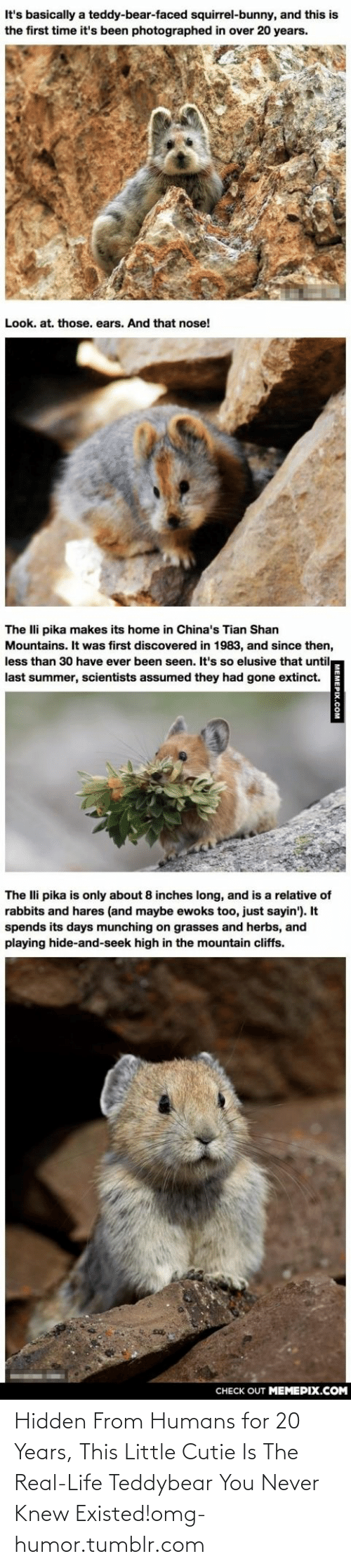 Playing Hide: It's basically a teddy-bear-faced squirrel-bunny, and this is  the first time it's been photographed in over 20 years.  Look. at. those. ears. And that nose!  The Ili pika makes its home in China's Tian Shan  Mountains. It was first discovered in 1983, and since then,  less than 30 have ever been seen. It's so elusive that until  last summer, scientists assumed they had gone extinct.  The lli pika is only about 8 inches long, and is a relative of  rabbits and hares (and maybe ewoks too, just sayin'). It  spends its days munching on grasses and herbs, and  playing hide-and-seek high in the mountain cliffs.  CНЕCK OUT MЕМЕРIХ.COM  MEMEPIX.COM Hidden From Humans for 20 Years, This Little Cutie Is The Real-Life Teddybear You Never Knew Existed!omg-humor.tumblr.com