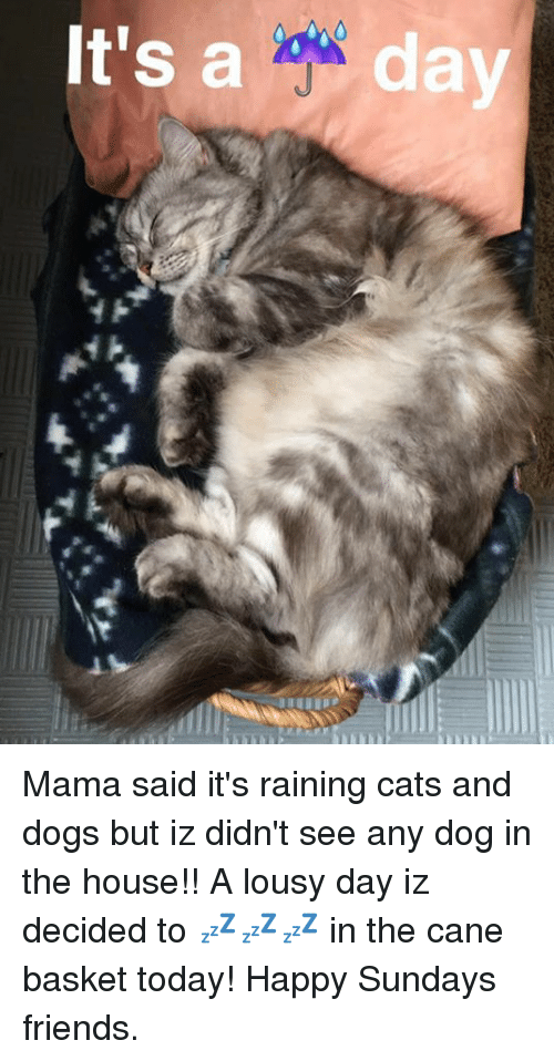 rain cat: It's Mama said it's raining cats and dogs but iz didn't see any dog in the house!! A lousy day iz decided to 💤💤💤 in the cane basket today! Happy Sundays friends.