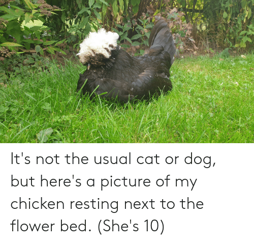 cat-or-dog: It's not the usual cat or dog, but here's a picture of my chicken resting next to the flower bed. (She's 10)