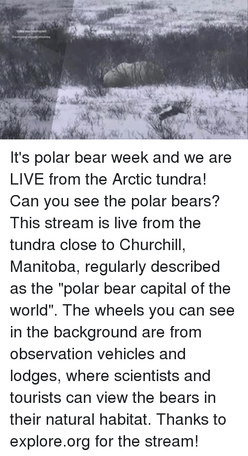 "Dank, Bear, and Bears: It's polar bear week and we are LIVE from the Arctic tundra! Can you see the polar bears?  This stream is live from the tundra close to Churchill, Manitoba, regularly described as the ""polar bear capital of the world"". The wheels you can see in the background are from observation vehicles and lodges, where scientists and tourists can view the bears in their natural habitat.  Thanks to explore.org for the stream!"