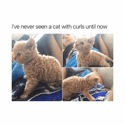 Relationships, Never, and Cat: i've never seen a cat with curls until now