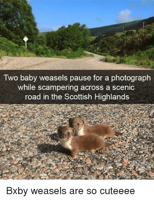 weasels: Iwo baby weasels pause for a photograph  while scampering across a scenic  road in the Scottish Highlands Bxby weasels are so cuteeee