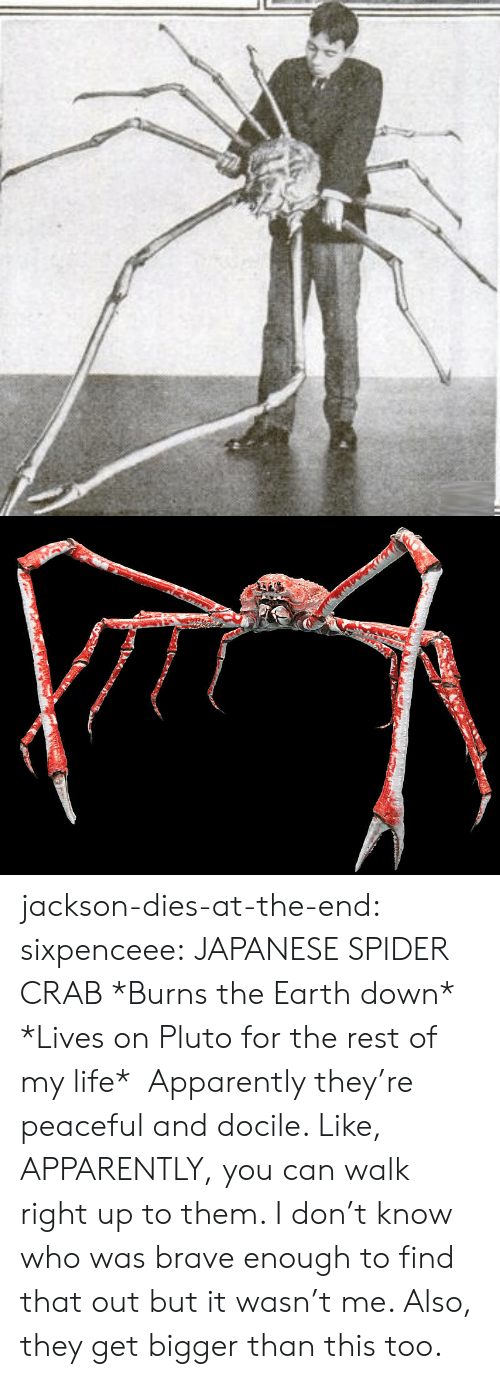 docile: jackson-dies-at-the-end: sixpenceee:  JAPANESE SPIDER CRAB *Burns the Earth down* *Lives on Pluto for the rest of my life*    Apparently they're peaceful and docile. Like, APPARENTLY, you can walk right up to them. I don't know who was brave enough to find that out but it wasn't me.  Also, they get bigger than this too.