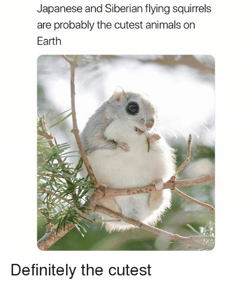 Animals, Definitely, and Funny: Japanese and Siberian flying squirrels  are probably the cutest animals on  Earth Definitely the cutest
