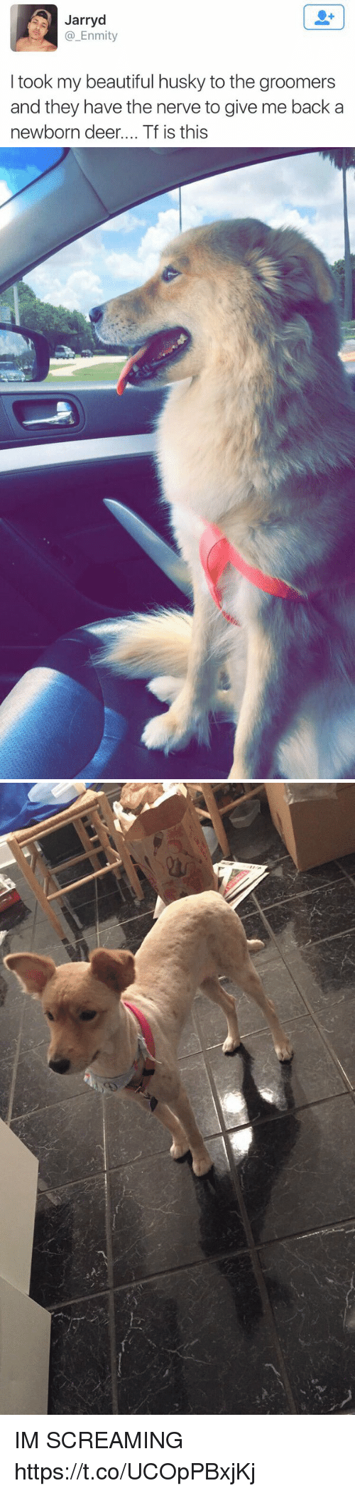 Groomers: Jarryd  @_Enmity  I took my beautiful husky to the groomers  and they have the nerve to give me back a  newborn deer.... Tf is this IM SCREAMING https://t.co/UCOpPBxjKj